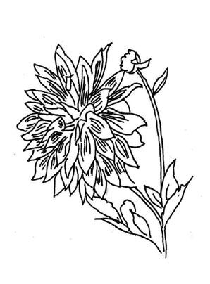 Ausmalbilder Dahlie 1 - Blumen Malvorlagen ausmalen