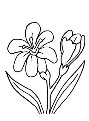 Ausmalbilder Freesien - Blumen Malvorlagen ausmalen