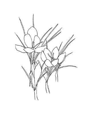 Ausmalbilder Krokus 1 - Blumen Malvorlagen ausmalen
