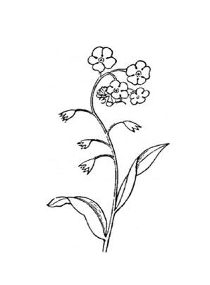 Ausmalbilder Vergißmeinnicht 1 - Blumen Malvorlagen ausmalen