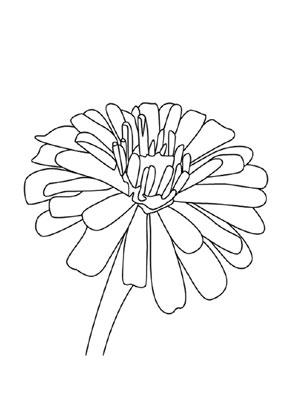 Ausmalbilder Zinnie - Blumen Malvorlagen ausmalen