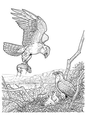 Ausmalbilder Adler fängt einen Fisch - Adler Malvorlagen
