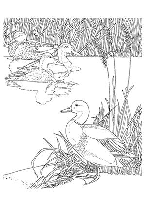 Ausmalbilder Enten im Schilf - Enten Malvorlagen