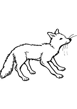 Ausmalbilder Schnuppernder Fuchs - Füchse Malvorlagen