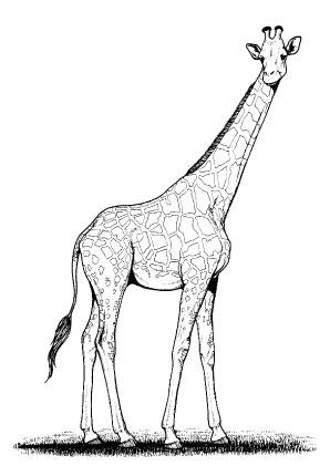 Ausmalbilder Giraffe 1 - Giraffen Malvorlagen