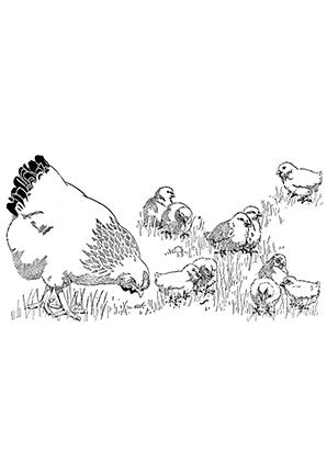 Ausmalbilder Henne mit Küken im Feld - Hühner Malvorlagen
