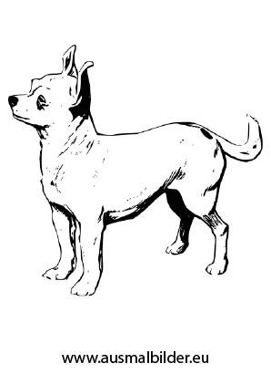 Ausmalbilder Chihuahua Hunde Malvorlagen