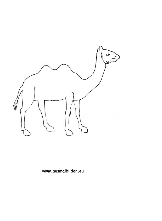 Ausmalbilder kamel  kamele Malvorlagen