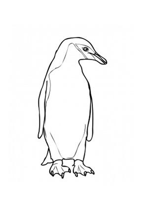 Ausmalbilder Langschwanzpinguin Pinguine Malvorlagen
