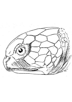 ausmalbilder schildkrötenkopf - schildkröten malvorlagen